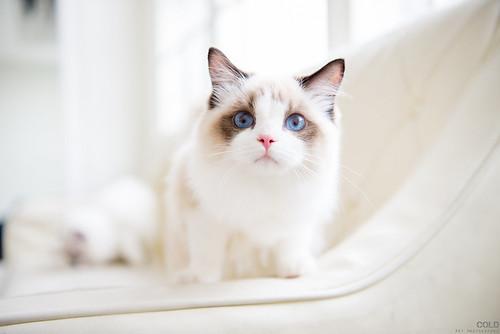[台北 寵物攝影] 貓咪 布偶貓 寵物攝影 | by cold0328
