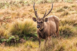 Sambar deer in wild | by c.collardjacques
