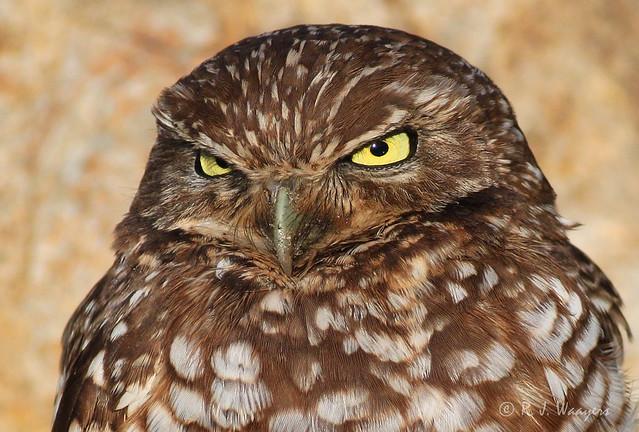 Burrowing Owl, portrait