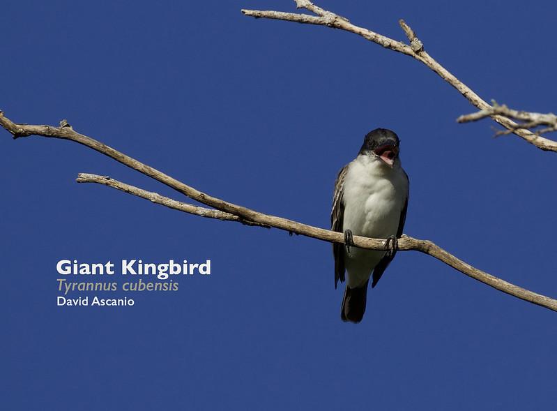 Giant Kingbird, Tyrannus cubensis_199A2572