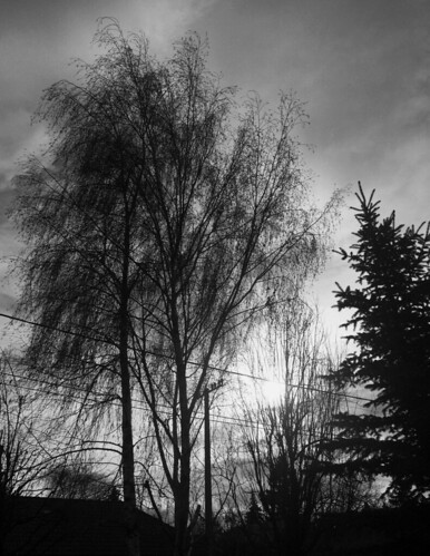 sad tél atmosphere nautre birch nyírfa björk pine fenyőfa blackandwhite feketefehér schwarzweiss blancoynegro bianconero svarthvit siyahbeyaz monochrome garden windowview winter
