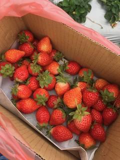 Picking Strawberries! | by ToddinNantou