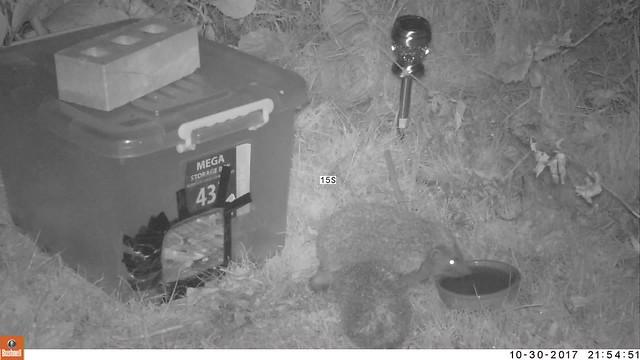Adult & juvenile hedgehog