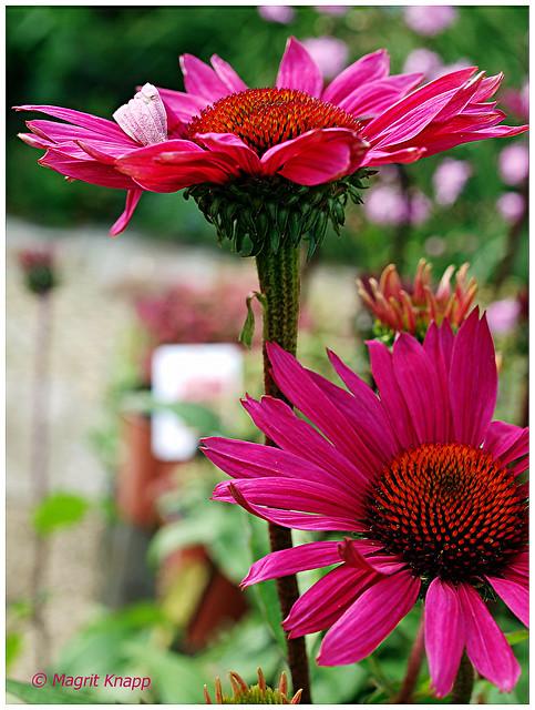 7DWF – Fridays: Flora   Echinacea