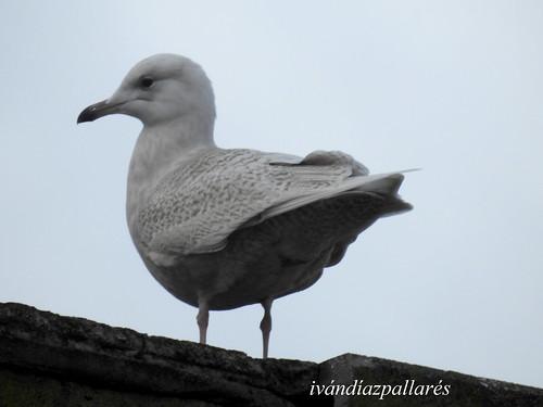 Gaviota groenlandesa 1er invierno