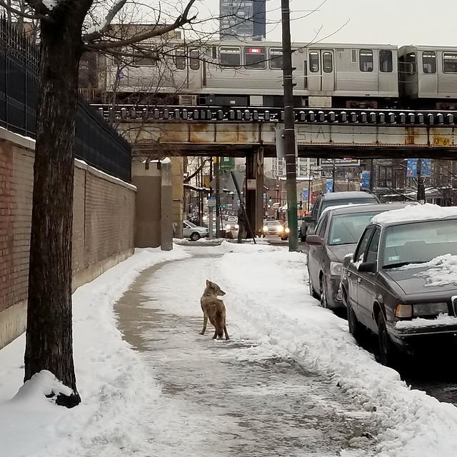 Feb 8 / Urban coyote