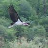 Marabou Stork by Malcolms wanderings