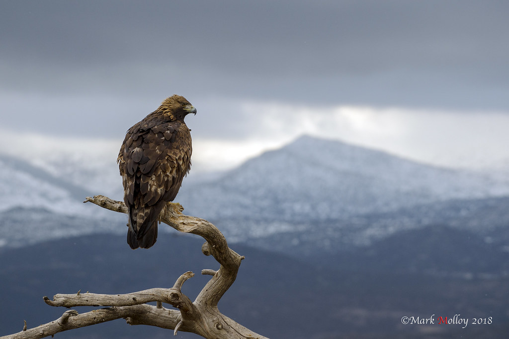 The King surveys his kingdom | This male Golden Eagle sits o