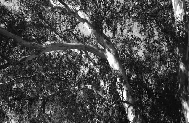 Eucalipto (Zorki4Jupiter8Enero18027)