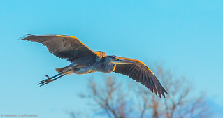 Great Blue Heron (DOL-A-5659)