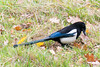 Eurasian Magpie by quinet