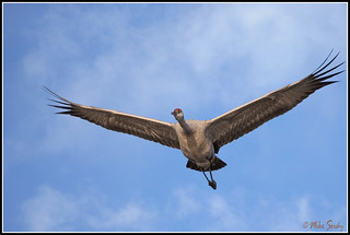 18-3504_sandhill_crane_in_flight_clouds_fs - Copy | by michaelsorsky