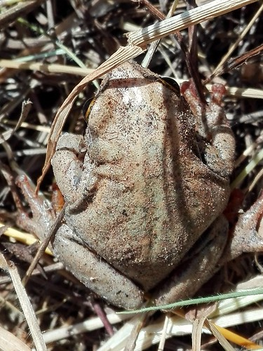frogs camouflage macro