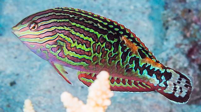 Red Sea Leopard Wrasse, terminal phase - Macropharyngodon marisrubri