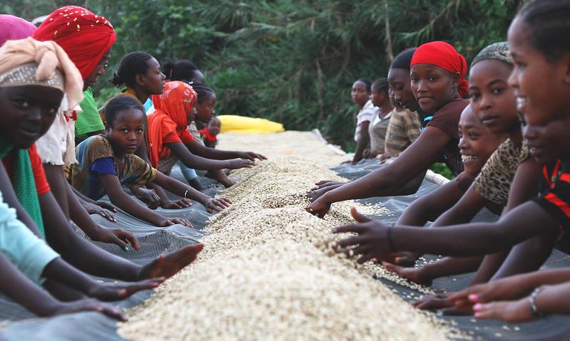 Lựa chọn cà phê ở tại Yirga Cheffee Gedeo Khu Konga