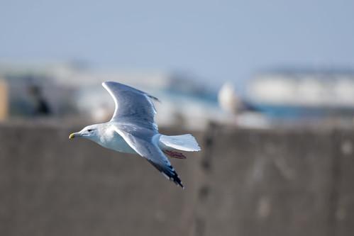 2018/01/06 (土) - 12:39 - オオセグロカモメ ー 銚子漁港