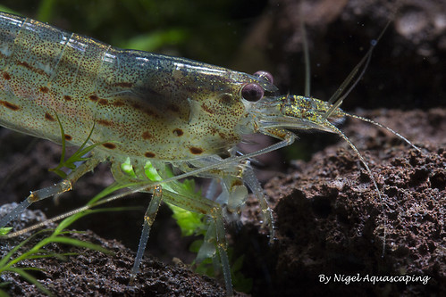 amano shrimp by nigel aquascaping | by nigel_kh