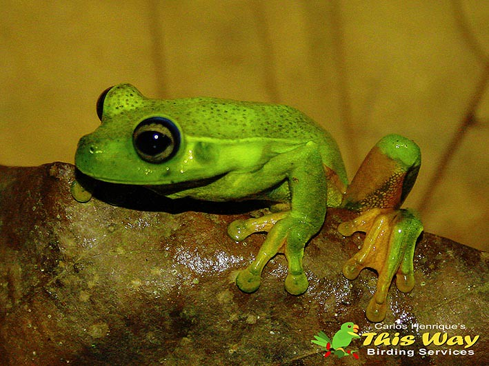 White-edged Tree-frog