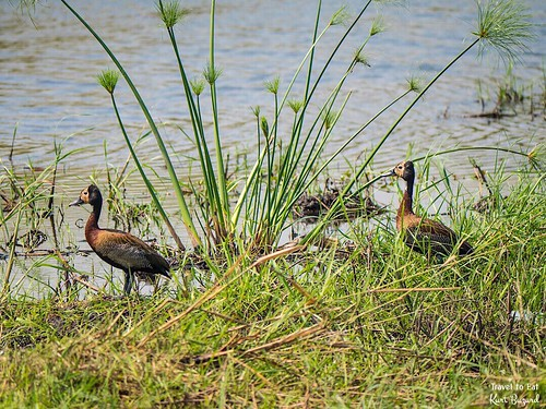 White-Faced Whistling Duck (Dendrocygna viduata) | by Travel to Eat