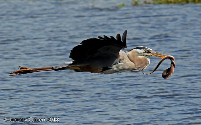 Great blue heron (Ardea herodias) carrying a water snake