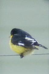 fullsilesser goldfinch
