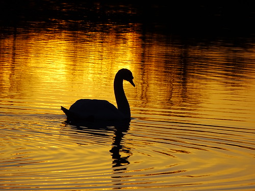 a red ulster sunset lake water swans trees mature swan