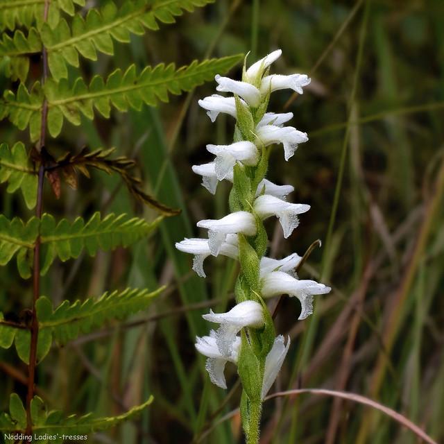 Nodding Ladies'-tresses - Spiranthes cernua  -  Orchidaceae: Orchid Family