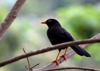Turdus fuscater-Mirla Común-Great Thrush | by @segida22