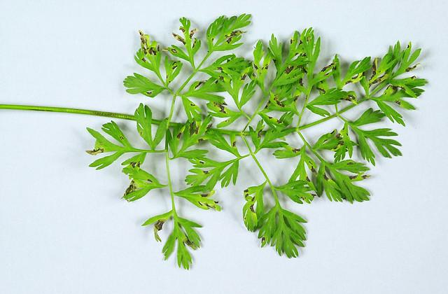 Alternaria Leaf Blight on Carrot