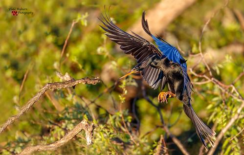 venice florida unitedstates us anihinga bird flight landing closeup profile view