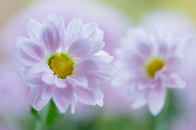 chrysanthemum 0887