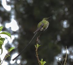 Black-tailed Trainbearer (Lesbia victoriae)