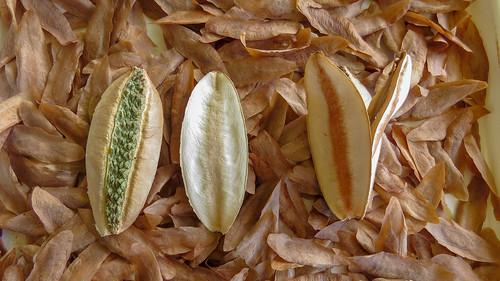 Cudgerie seed pods | by John Tann