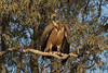 Young griffon vulture by ramosblancor