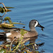 Flickr photo 'Blue-winged Teal (Anas discors)' by: Mary Keim.
