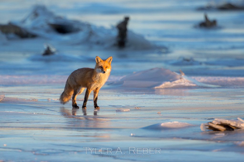 Golden Fox and Blue Ice