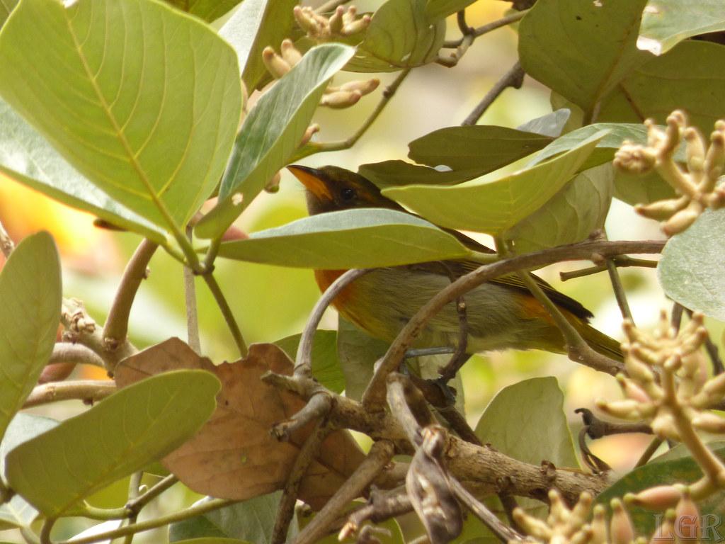 Hemithraupis guira (♂)
