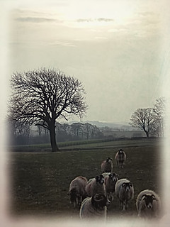 Sheep in field at side of Bottomdale Road