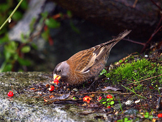 Gray-crowned Rosy-Finch eating berries