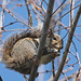 Flickr photo 'Eastern Gray Squirrel (Sciurus carolinensis)' by: Mary Keim.