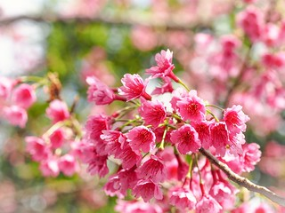 …  in love with cherry blossoms