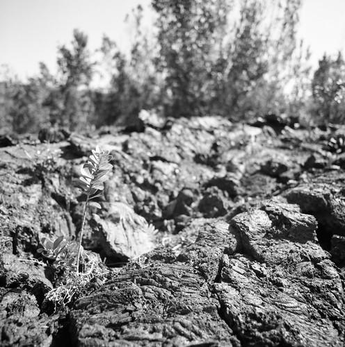 "Image titled ""Plant, Volcanic Rock, Volcano National Park."""