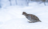 Hazel Grouse on snow by george.julin