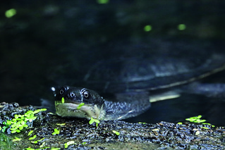 Roti Isaland snake-necked turtle by Mark Fryer