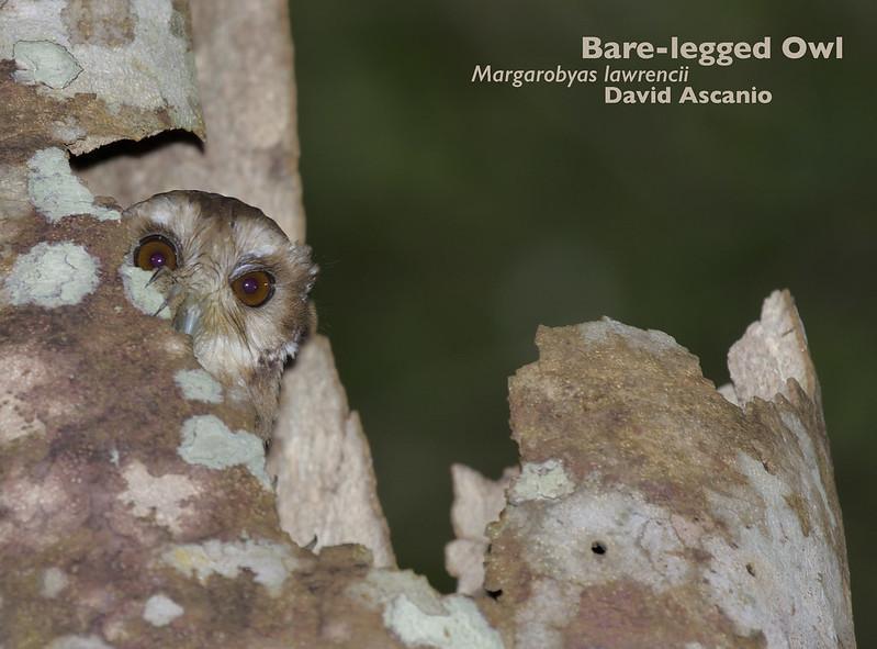 Bare-legged Owl, Margarobyas lawrencii_199A3686