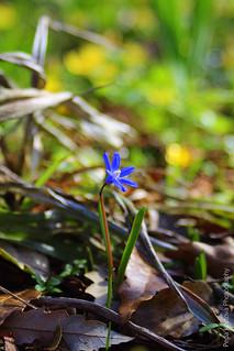 Синчец (Scilla bifolia)