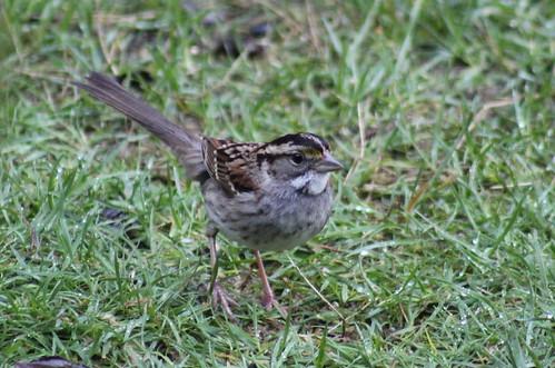birdsofwashington bird washingtonbirds sparrow whitethroatedsparrow zonotrichiaalbicollis