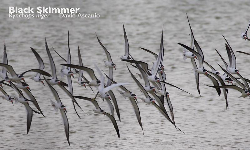 Black Skimmer, Rynchops niger_199A3424