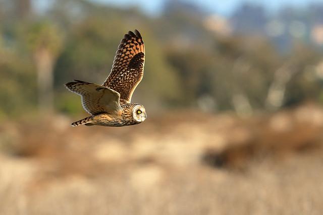 Short-eared Owl (3258)