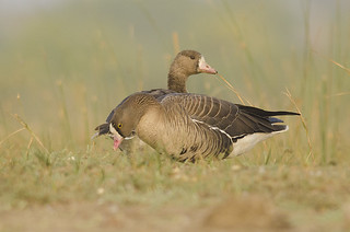 Lesser White-fronted Goose with the greater white-fronted goose in the background | by as_kannan